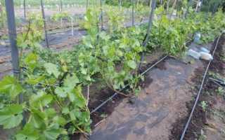 Потребность винограда в калии симптомы калийные прикормки
