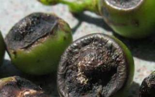 Ягоды винограда чернеют почему темнеют и что делать при заболевании