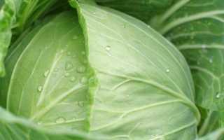 Лучшие сорта капусты для квашения и хранения обзор