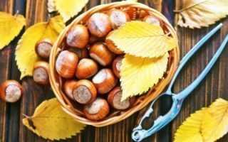 Когда собирают лесные орехи, время созревания плодов