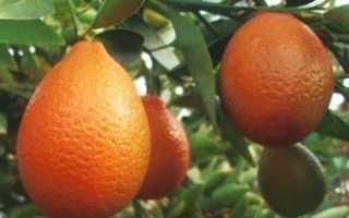 Оранжекват ниппон цитрусовое растение уход