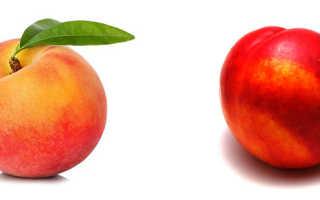Что такое нектарин и чем он отличается от персика. Нектарин — польза и вред для здоровья организма