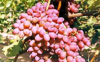 Кишмиш запорожский виноград описание сорта