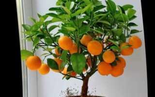 Мандариновое дерево (мандарин): уход, в домашних условиях, в горшке