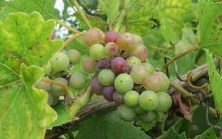 Виноград общие сведения, описание, полезные свойства