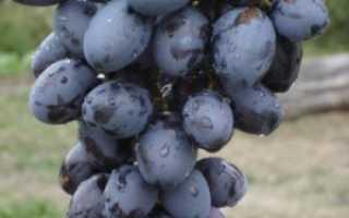 Виноград хаджи мурат описание сорта фото отзывы