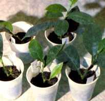 Как размножить лимон черенками в домашних условиях, укоренение и выращивание. Размножение лимона черенками