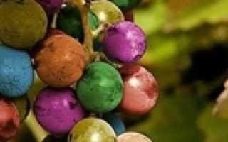 Виноград девичий в квартире на балконе — декоративный сорт