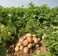 Посадка картофеля в средней полосе России: лучшие сорта
