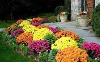 Цветы хризантемы: как выглядят, описание, что такое