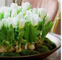 Выгонка тюльпанов к 8 марта в домашних условиях сроки посадки