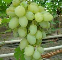 Виноград богатяновский описание сорта фото