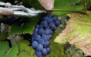 Сроки сбора винограда время сбора урожая винограда