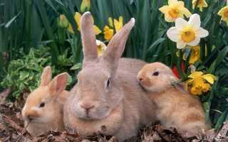 Сколько длится беременность у кроликов ее срок