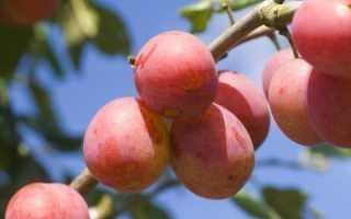 Гибрид сливо-вишневый сливы и нектарина терновника