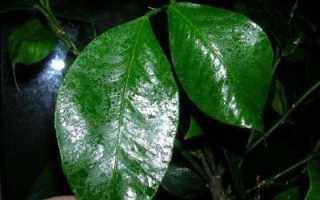 У лимона липкие листья что делать с налетом какая болезнь