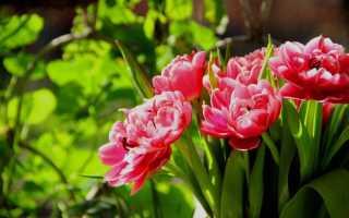 Агроном: Тюльпаны пионовидные – описание очаровательных сортов и методика выращивания в 2019 году