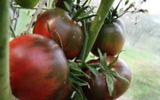 Томат Черный принц: характеристика и описание сорта, урожайность, отзывы с фото