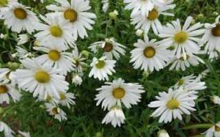 Хризантемы осенние цветы в саду посадка и уход поздние
