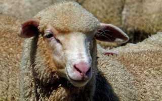 Овца советский меринос описание породы фото видео характеристика
