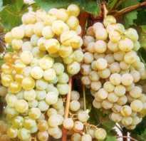 Виноград цитронный магарача описание сорта