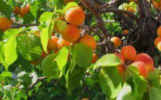 Когда и как прививать абрикос. Прививка абрикоса черенками летом