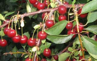 Апухтинская вишня описание сорта — Дачное хозяйство