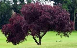 Слива алыча декоративные деревья и кустарники Весеннее пламя