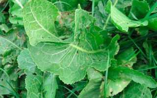 Как посадить хрен в огороде и как за ним ухаживать