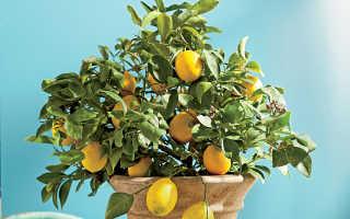 Скручиваются листья лимона причины и профилактика