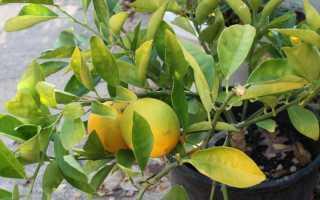 Почему лимон сбрасывает листья что делать уход