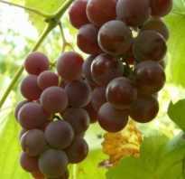 Виноград лидия описание сорта