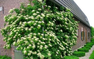 Гортензия черешковая вьющаяся лиана декоративные деревья и кустарники фото посадка и уход