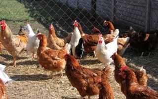 Сарай для кур — требования к помещению, инструкция по строительству своими руками