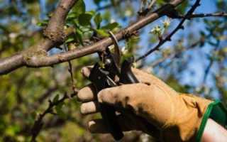 Обрезка (формирование) вишни: когда и как правильно делать, летом, схема