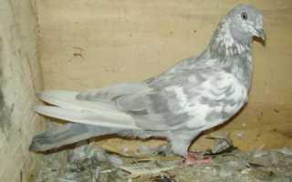Болезни голубей и как их лечить обзор