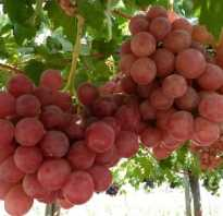 Виноград гурман ранний описание сорта 1-12