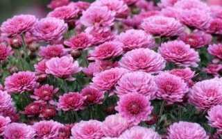 Посадка садовой хризантемы в открытый грунт осенью уход как и когда садить