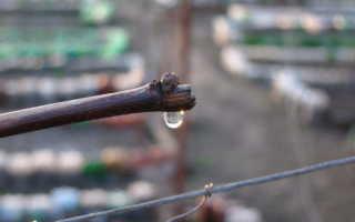 Виноград плачет после обрезки весной: что делать