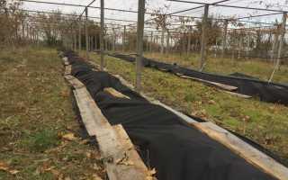 Уход за виноградом после зимы: что с ним делать