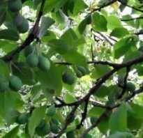 Почему опадают плоды сливы — наиболее частые причины