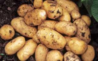 Картофель Адретта описание и характеристика сорта вкусовые качества особенности ухода и выращивания