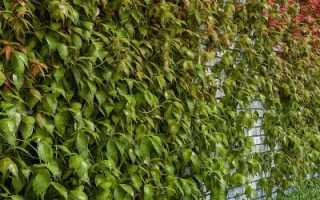 Виноград девичий посадка семян — Дачное хозяйство