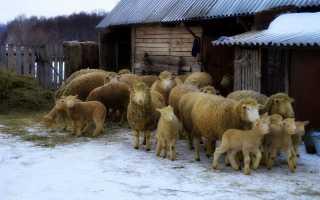 Куйбышевская порода овец и баранов характеристика фото