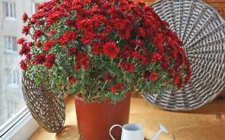 Как сохранить хризантемы зимой — Все цветы