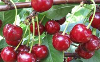 Вишня шалунья описание сорта — Сад и огород
