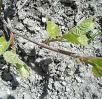 Посадка винограда саженцами осенью как и когда лучше садить выбор посадочного материала советы и основные правила схемы для новичков