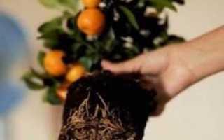 Пересадка мандарина (мандаринового дерева) в домашних условиях