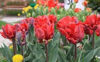 Попугайные тюльпаны: великолепие живого произведения искусства