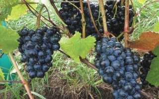 Виноград Добрыня: описание сорта, высадка черенков и уход за ними